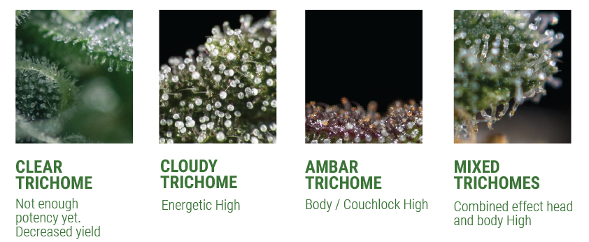 Growers tip on trichomes